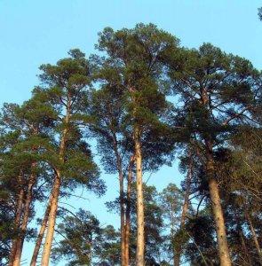 Деревянные евроокна из сосны